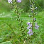 Verónica(veronica_officinalis)