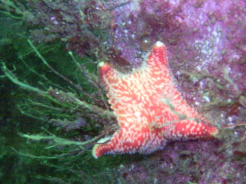 Red cushion star