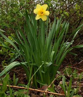 DaffodilatBigMapleLake