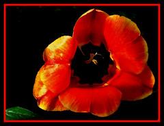 the_tulip