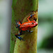 Strawberry Poison-dart Frog - Photo (c) Jerry Oldenettel, some rights reserved (CC BY-NC-SA)