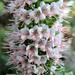 Echium sp. by Gertrud K.