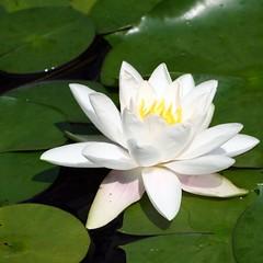 blossom(0.0), lily(1.0), flower(1.0), plant(1.0), flora(1.0), sacred lotus(1.0), lotus(1.0), proteales(1.0), petal(1.0), aquatic plant(1.0),