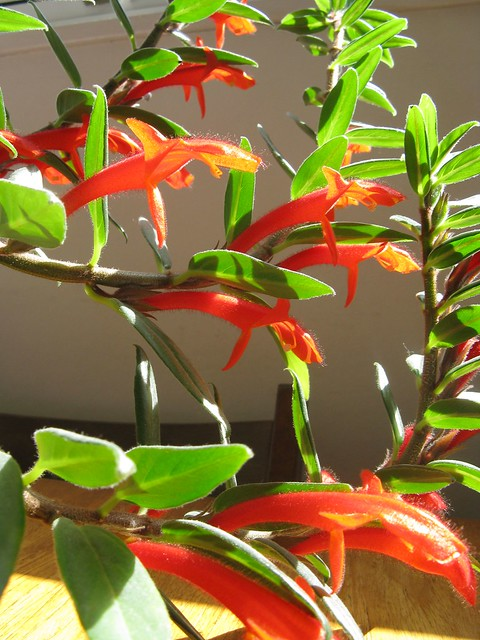 New To You >> Goldfish Plant | Flickr - Photo Sharing!
