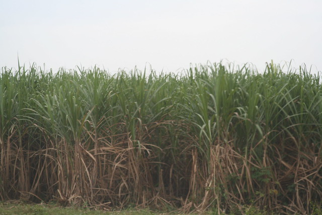 Sugar cane plantation... | Flickr - Photo Sharing!