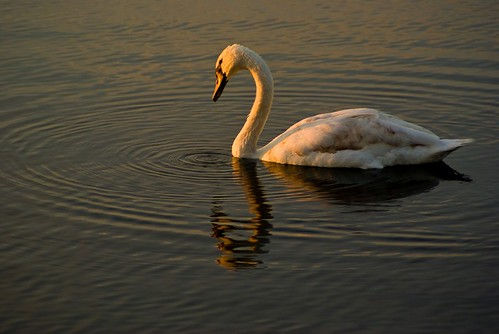 Young Swan in the Dawn light.