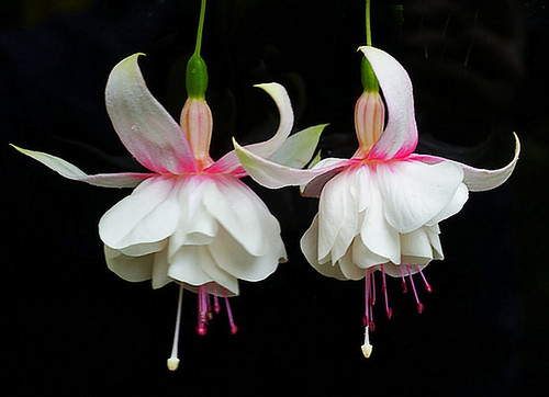 fuchsias dancing  .......  in the wind.