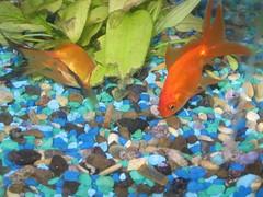 fish, coral reef fish, marine biology, goldfish, freshwater aquarium, underwater, aquarium,