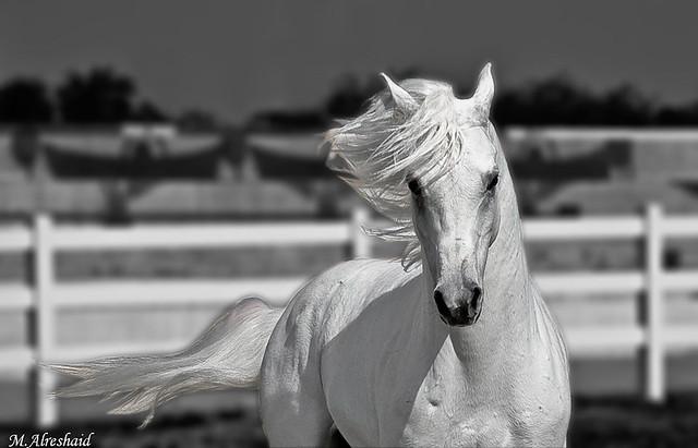 White Horse (B&W)