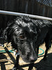 Wet Black Flat Coat Retriever