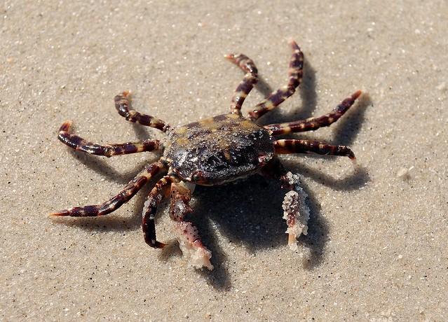 Study Of Shore Crab Response To Intertidal Essay
