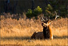 Bull Elk at Rest