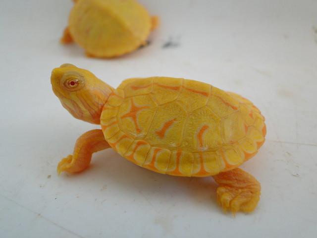 Tartaruga Tigre d'água albina.