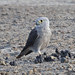 Dickinson's Kestrel - Photo (c) Jerry Oldenettel, some rights reserved (CC BY-NC-SA)