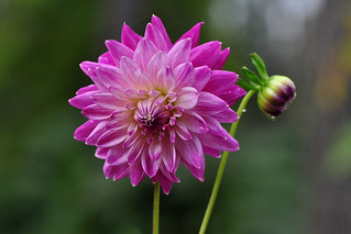 My Dahlia collection # 43 Dahlia pink diamond