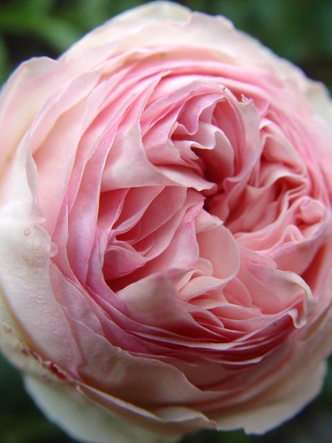 rosa eden rose 39 88 or pierre de ronsard flickr. Black Bedroom Furniture Sets. Home Design Ideas