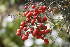 shrub(0.0), flower(0.0), plant(0.0), crataegus pinnatifida(0.0), produce(0.0), food(0.0), rose hip(0.0), autumn(0.0), evergreen(1.0), berry(1.0), branch(1.0), red(1.0), macro photography(1.0), flora(1.0), fruit(1.0), rowan(1.0), hawthorn(1.0),