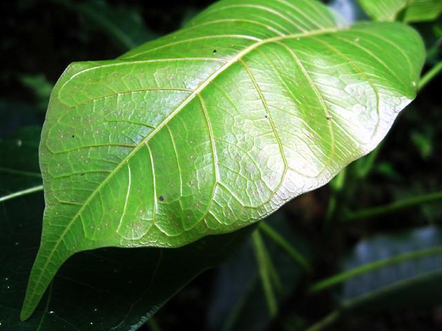 Banyan tree leaf | Flickr - Photo - 130.9KB