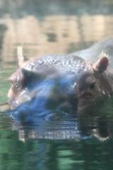 Hippopotamus (Hippotamus amphibious)