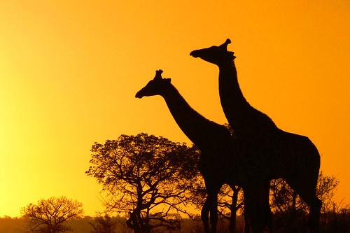 africa sunset wallpaper nature sunrise poster southafrica bush bravo wildlife safari explore giraffe mammals rsa krugernationalpark giraffacamelopardalis parkstock interestingness84 i500 specanimal platinumphoto arnomeintjes vosplusbellesphotos