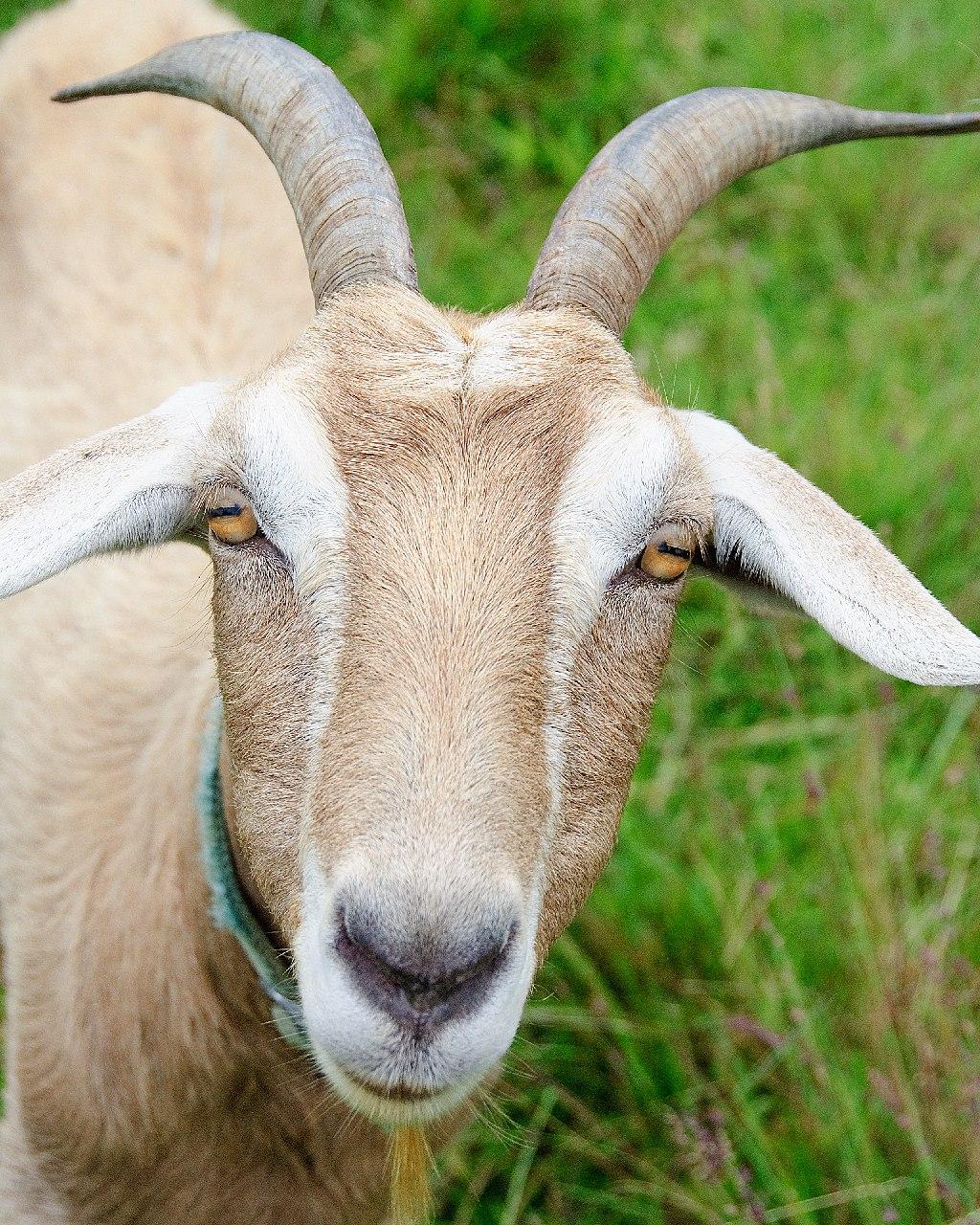 Big Island Goat