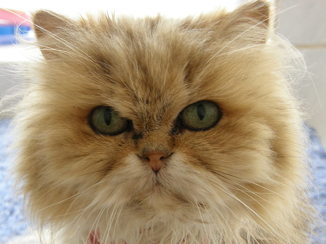 fionaour golden chinchilla persian fiona or fifi as we
