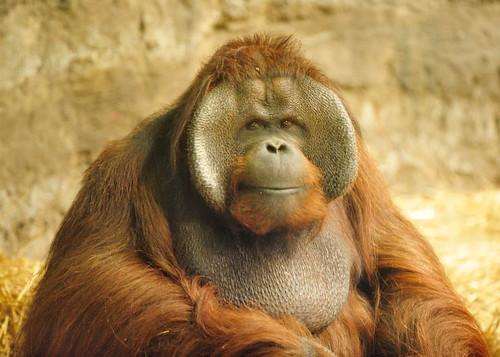 nikon orangutan d3 racine pongopygmaeus racinewi racinezoo borneanorangutan
