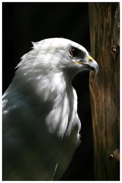 Albino Peregrine Falcon – PatagoniaNatureJournal