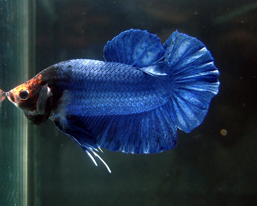 Plakat betta fish care for How much are betta fish