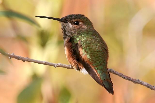 Allen's Hummingbird - F (Selasphorus sasin)