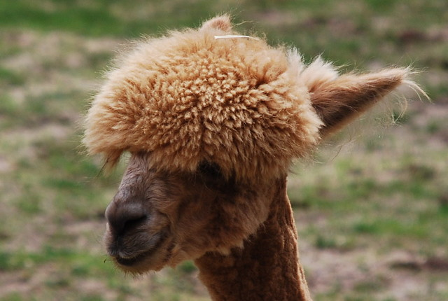 Alpaca afro | Smithsonian National Zoological Park ...