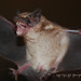 Free-tailed bats - Photo (c) Arthur Tahara, some rights reserved (CC BY-NC-ND)