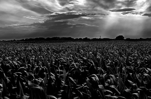 The Corn Field At Twilight