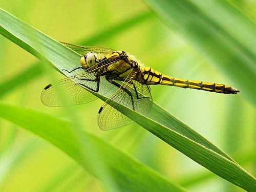 Black-tailed Skimmer on a string