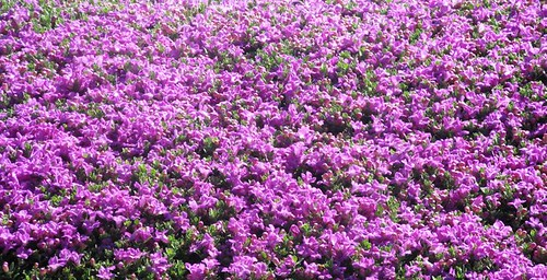 Purple Flowering Bushes
