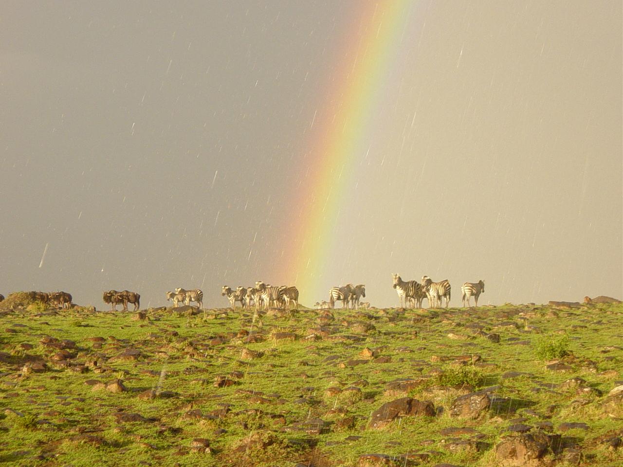 マサイマラ国立保護区のシマウマなどの野生動物の群れ