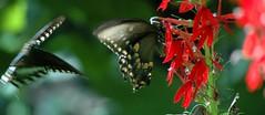 Butterfly down stroke