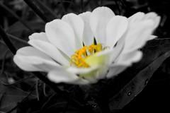 white zinnia 2