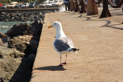 Sea Gull Walking