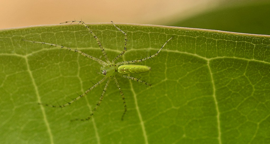 Green Spider, Green Leaf