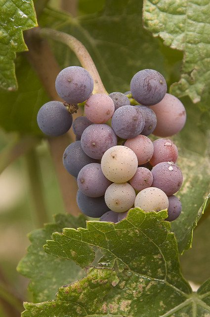 grapes spectrophotometric analysis
