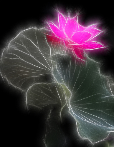 Lotus Flowers Meaning