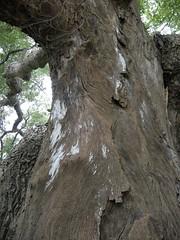 樗樹: 雲林縣莿桐鄉六合村新庄仔三代同堂的老樟樹