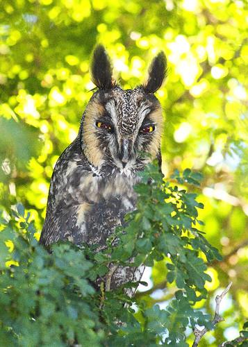 arizona bird phoenix botanical desert owl longearedowl desertbotanicalgarden topshots natureselegantshots jhaskellus jhaskell jackhaskell panoramafotografico thewonderfulworldofbirds virtualjourney