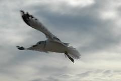 Sea Gull 018