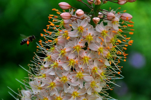 A bee with pollen on Eremurus stenophyllus flower