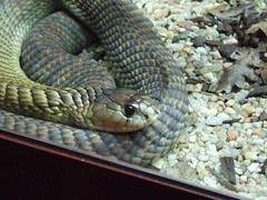 animal, serpent, snake, reptile, hognose snake, fauna, viper, scaled reptile,