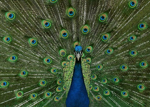 Proud as a Peacock