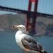 Gull Ponders Bridge