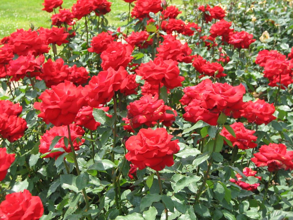 Red roses at norfolk botanical garden norfolk virginia for Garden rose trees
